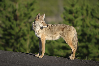 Coyote (Canis latrans) in Yellowstone park.
