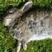 The bunny is dead II