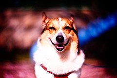 gaudium (moaan) Tags: park pink dog smile digital happy 50mm petals corgi dof bokeh joy happiness neighborhood delight utata sakura feeling welshcorgi 2009 wellbeing f095 vicinity smilingface pinkcarpet fallenpetals rejoicing gratification explored canonf095 rd1s forjoy smallpark playgroundslide pochiko epsonrd1s thelittledoglaughed canon50mmf095 feelingofhappiness indelight senseofwellbeing petalsofcherryblossoms withalookofjoy beamedwithjoy gettyimagesjapanq1 gettyimagesjapanq2