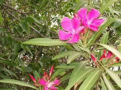 oleander (jessArdent) Tags: oleander