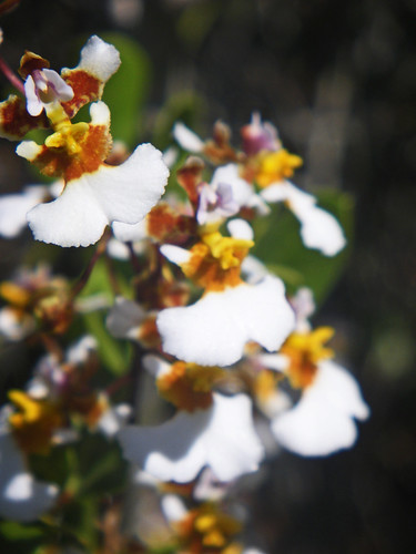 Oncidium bahamensis