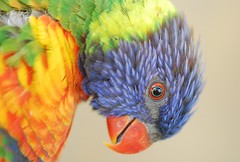 The rainbow bird !! (Andrea Cantu (Twitter andreaca83)) Tags: macro zoo san lorikeet antonio
