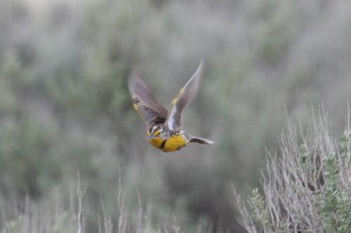 Western Meadowlark in Flight