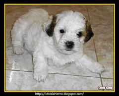 Troi, asi lo van a llamar cuando llegue a casa. (joseglez) Tags: perro cachorro mascota caniche troi