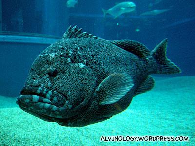 A really fat fish