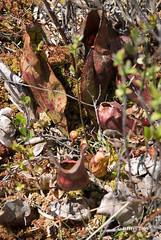 Pitcher Plant Buds Showing - Alfred Bog