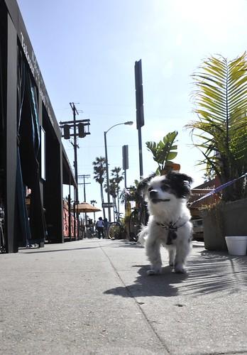 Attack Dog Venice Beach