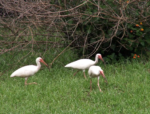 Ibises in Light Rain 2