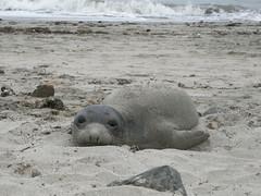 P1190643 (armadil) Tags: elephantseal seal babyelephantseal mavericks california beaches californiabeaches marinemammal whiskers beach marinemammals 052405 052409 mav052409