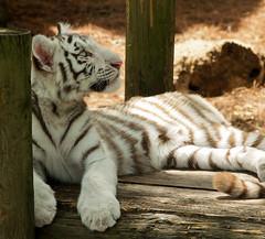Tiger Cub (ninjas_rule) Tags: white cute zoo cub tiger adorable olympus e300 lowrypark zuikodigital 45150mm flickrbigcats