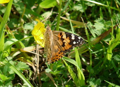 Painted Lady(2) (Tony_H2008) Tags: butterfly panasonic paintedlady fz28