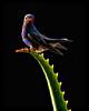 """ Savila "" (Alfredo11) Tags: light naturaleza bird art luz nature mexico nikon ave pajaro beijaflor colibri savila humingbird picaflor nikon80400mm nikond3"