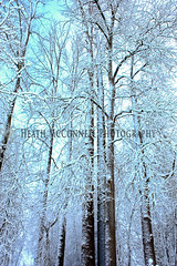 Trees-2 (HeathMcConnell) Tags: trees snow ice landscape photography watermarked 1x15