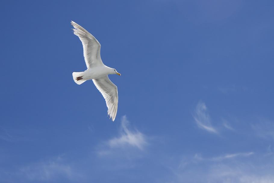 Seagull_3001