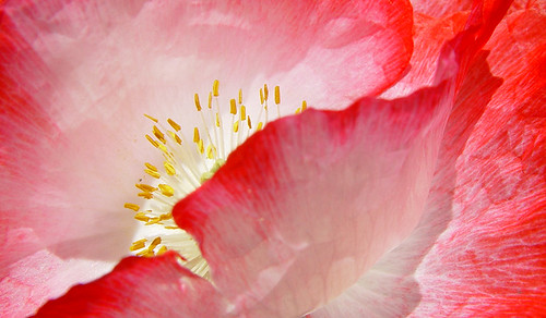 macro photograph pink red poppy flower