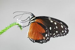 Monarch butterfly - Amsterdam (IvoMathieuGaston) Tags: color colour macro colors amsterdam butterfly lunch wings nikon closed colours d70s free monarch having naturegroup animalplanetgroup heartawardsgroup butterflycolorgroup eperkegroup onlynaturegroup flickrstarsgroup highqualityimagesgroup lustauffotosgroup wonderfulworldofmacrogroup natureisallgroup naturegreenstargroup butterfliesgroup worldofanimalsgroup nikonflickrawardgroup thewonderfulworldofanimalsgroup hairygitselitegroup smallcreaturesgroup loverofnaturegroup greatbutterflygroup fotografiagroup fotosconestilogroup exquisiteworldofnaturegroup lovetheworldofnaturegroup macrosdenaturalezagroup beautifulshotgroup mallmixstarawardgroup spectacularinsectsgroup veryspecialpicturesgroup animalandflowerscloseupgroup patagonicagroup butterflybeautygroup
