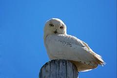 Snowy in June (ICT_photo) Tags: ontario guelph raptor owl birdofprey snowyowl shelbourne ianthomas ictphoto