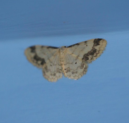 Treble Brown Spot (Idaea trigeminata)