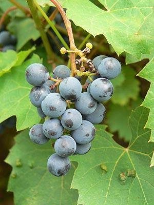 raisin noir.jpg