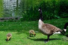 Stadtgarten Gelsenkirchen (Kurt Gritzan) Tags: bird deutschland nikon wildlife nrw vgel gelsenkirchen vogel frhling kken d5000 nikond5000 stadtgartengelsenkirchen kurt65 kurtgritzan