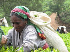 Tea Picker (Patsy Jennings) Tags: srilanka teaplantation nuwaraeliya teapicking elementsorganizer
