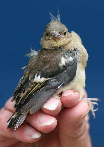 Chaffinch juvenile