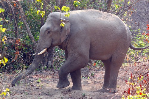 A wild tusker on the move...