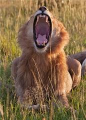 IMG_1279_Morning Yawn in the Mara (maqsmughal) Tags: lion canon5d bigfive wildcats masaimara youngmale fullyawn maqs predetors naturesgreenpeace lens70200f28lisusm