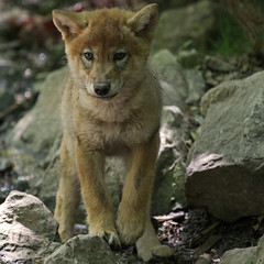 (Gary Wilson  ) Tags: nature animal canon photography eos grey zoo cub switzerland photo wolf foto wildlife zurich gray canine 5d lobo loup pup lupus wolves mkii mongolian greywolf canis canislupus canid 100400l wolfcub graywolves zurichzoo garywilson wolfpup mongolianwolf doublyniceshot