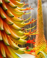 showing off (Darwin Bell) Tags: orange plant flower bloom aloevera anawesomeshot colorphotoaward aplusphoto