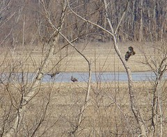 Three juv bald eagles