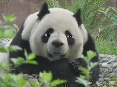Save The Pandas (sosij) Tags: china bear education panda bamboo habitat gratitude wwf endangeredanimals crazytalk southwestchina computerpuppeteering theoldbamboo tralalalalatheoldbamboo talkingpanda