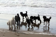 P is for Poodle (Runs with Poodles) Tags: ocean dog white black beach dogs oregon puppy snowman sand dunes hamilton tuxedo spoo poodle briggs fritz griffen snazzy standardpoodle coosbay northbend oregondunesnationalrecreationarea horsfall particolor partipoodle northspit odnra