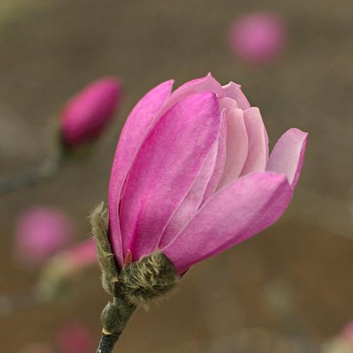 Missouri Botanical Garden (Shaw's Garden), in Saint Louis, Missouri, USA - Star magnolia, Magnolia stellata 'Rosea' Magnoliaceae