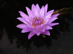 Waterlily (dimaruss34) Tags: flower garden waterlily pennsylvania longwoodgardens dupontgardens