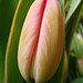 Tulip in bloom