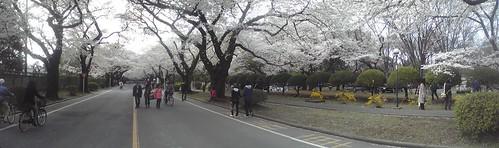 ICU桜1