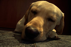 I cant say no to you... (MeluRogi) Tags: sleeping macro yellow nose lab labrador song retriever roger ro evanescence snout nariz dorado rogi dormido letra lyric goodenough hocico cancin coth solovely micorazoncito haciendononi icantsaynotoyouro