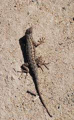 lizard (ComposerLady) Tags: sandiego lizard pines torrey