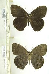 Pseudodebis marpessa