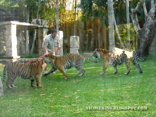 trio tigers