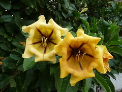 Golden chalice vine (howard.carshalton) Tags: flowers vine tenerife maxima solandra goldenchalice