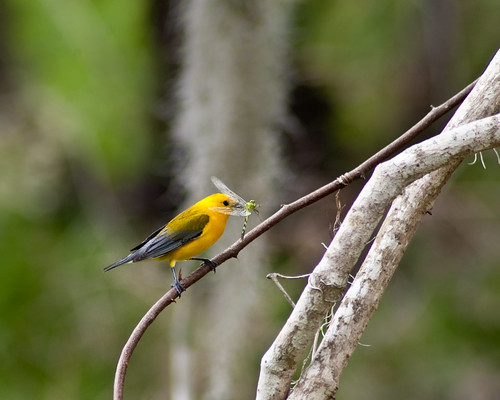 Brazos Bend 25th Anniversary - Prothonotary Warbler with dragonfly