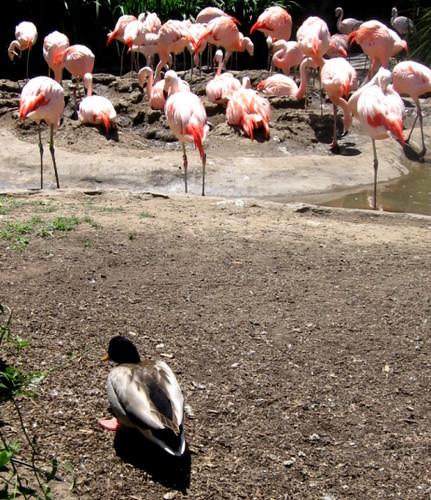 Mallard and Flamingos Santa Barbara Zoo