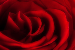 A Red, Red Rose (Robert_Brown [bracketed]) Tags: red brown abstract blur flower color macro love robert floral crimson rose canon photography saturated mark rich ii 5d orton