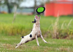 Reach (Emery_Way) Tags: dog canon jump jrt action frisbee trixie eos1dmarkiii