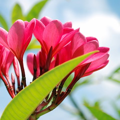 Cayman flora (StGrundy) Tags: cruise carnival flowers blue red sky floral botanical flora nikon georgetown explore springbreak tropical caribbean legend caymanislands grandcayman westbay turtlefarm explored d80 macromania boatswainsbeach colorphotoaward aperturef80 4mazingorgeoushotsoflowers damniwishidtakenthat worldnaturewildlifecloseup damnfinepicture nikkor1855mmf3556gvr focallength52mm exposure0005sec1200