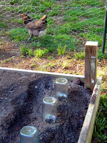 Canning Jars Over Seedlings