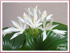 Our potted Proiphys amboinensis or Cardwell Lily, (a Hosta look-alike) at our courtyard garden, April 21 2009