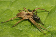 Nursery web spider and fly (nutmeg66) Tags: macro fly spiders lincolnshire flies arachnids diptera minibeasts sigma105mm pisauramirabilis 1on1allbugsphotooftheweek 1on1allbugsphotooftheweekjune2009